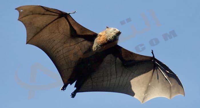 تفسير حلم رؤية الوطواط في المنام دلالات الوطواط الأبيض في الحلم للعزباء والمتزوجة والحامل معنى الوطواط الميت رؤيا الوطواط ا Dracula Bram Stoker Live Animals
