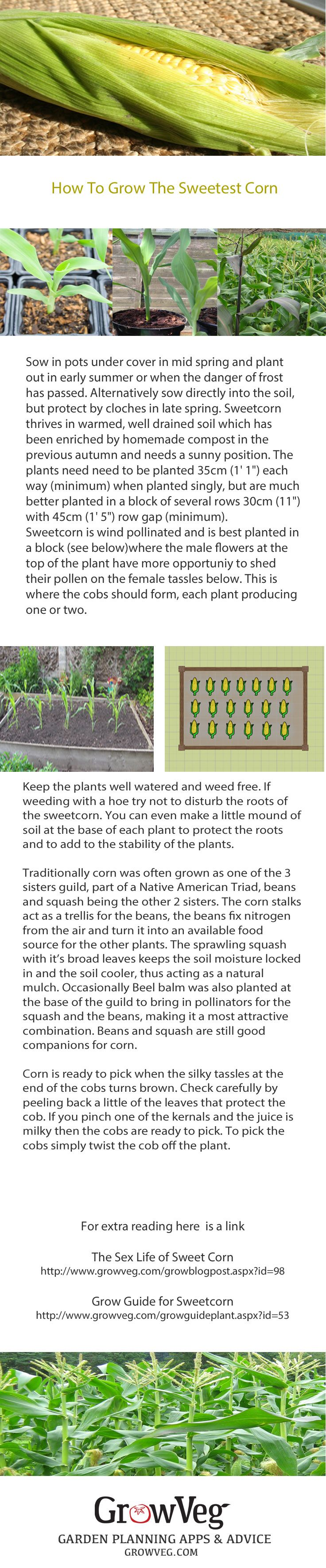 How to grow the sweetest sweetcorn. The importance of planting in a block as sweetcorn is wind pollinated. The companion planting of corn, beans and squash together as the 3 sisters guild. How to check when corn is ready to harvest and 2 useful articles to read from growveg.com about corn and how to grow it successfully. A great crop even for a small garden, a small block of 10 plants can give you that straight from the garden taste lacking in so much store bought corn.