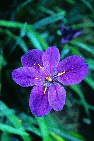 Iris Full Eclipse