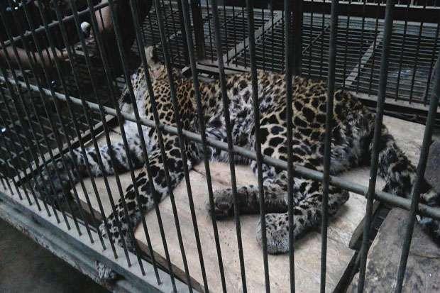 Warga Temukan Macan Tutul Dalam Kondisi Buta