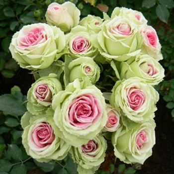 pink and green Eden spray garden roses. I have a florist who always wants me to put green roses in my bouquets, because she told me they last longer - she was right! My floral arrangements last up to 2 weeks!
