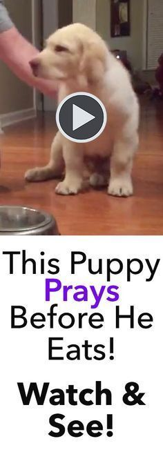 This puppy prays before he eats, and it's absolutely adorable! How do I teach my dog to do this trick? :)