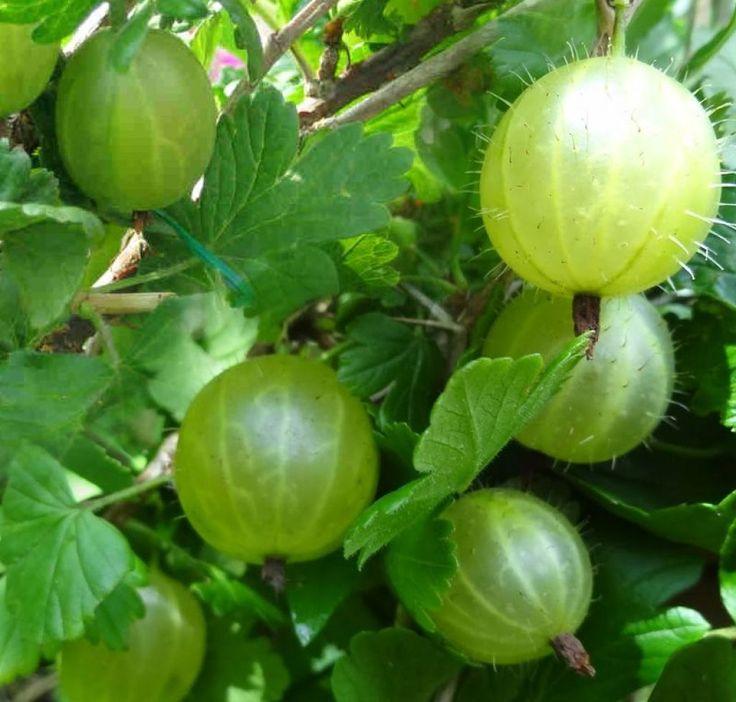 recipe: american gooseberry mildew treatment [25]