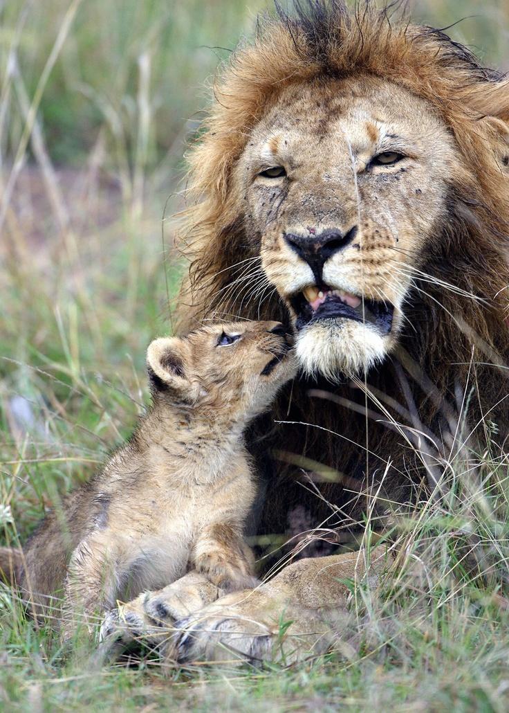 Lejonhanar är knappast engagerade föräldrar normalt sett. Oftast ger de sig av efter parning och låter honorna sköta barnuppfostran.   Afrikas stora katter, ikväll kl 17.05