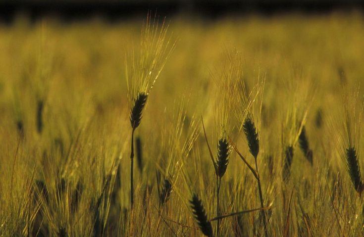 el pleno del Parlamento Europeo ha dado hoy su último paso para la aprobación de la nueva Política Agrícola Común (PAC): SEO/BirdLife y WWF España piden de nuevo al ministro de Agricultura, Alimentación y Medio Ambiente que asuma la responsabilidad de acordar un uso apropiado de los fondos europeos en medidas que además aporten un valor ambiental al territorio.