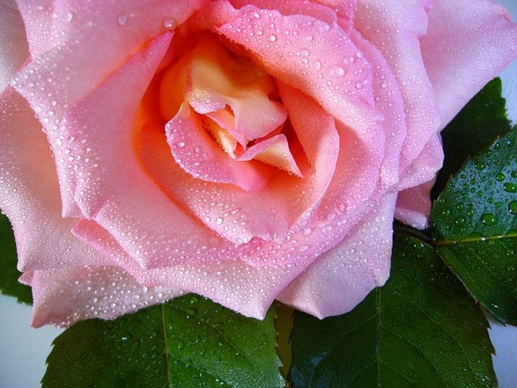 <p>Here's a way to use rose in your beauty routine to help tone your skin.</p>