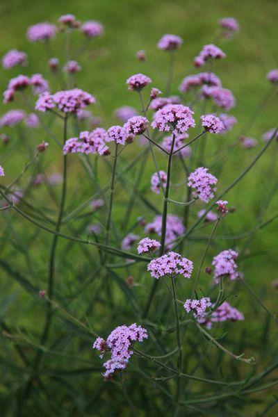 Verbena 'Lollipop', a shorter version of Verbena bonariensis, 60cm x 60cm. Smala stjälkar med ett kluster av små, purpurfärgade blommor som flyter elegant i vinden. En perfekt vävare med sitt luftiga växtsätt. Kan övervintras frostfritt. Växttyp: Ettårig Blomma Höjd: 1,2 meter Läge: Soligt Såtid: Januari-April Blomning/skörd: Juni-Oktober