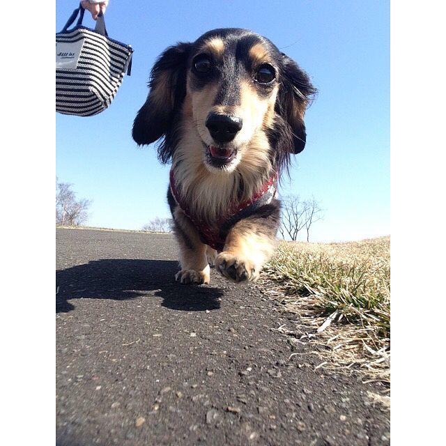 ✩* ✩* 2017.4.17 ✩* 朝んぽ〜🐶🐾 ピーちゃんスマイル❤ 公園貸切最高〜☺🙌🏻✨ ✩ #ダックス#ダックスフンド#ミニチュアダックス#愛犬#ピース#ブラッククリーム#12月18日生まれ #世界一可愛くてごめんなさい#dachshund#dachs#dog#dogstagram#love#peace#kyounodachs#ピーちゃんスマイル☺︎#甘えん坊ちゃん#pecoいぬ部