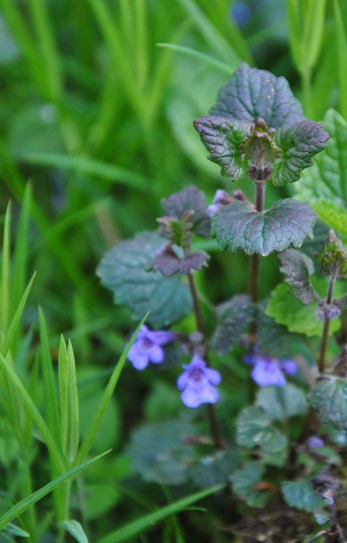 Ground Ivy.  This is where multi-sensory foraging is key- Use your nose. The unmistakable strong scent of ground ivy cannot be confused with anything else: with notes of mint, thyme, sage and rosemary it is the ultimate all-herb.