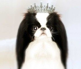 Fabel-Mi Japanese Chin ~ Beauty Without CompromiseFabel-Mi Japanese Chin Home of Number One Chin of All Time