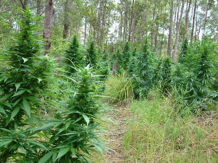 Les 25 meilleures id es de la cat gorie culture cannabis for Plantation interieur cannabis