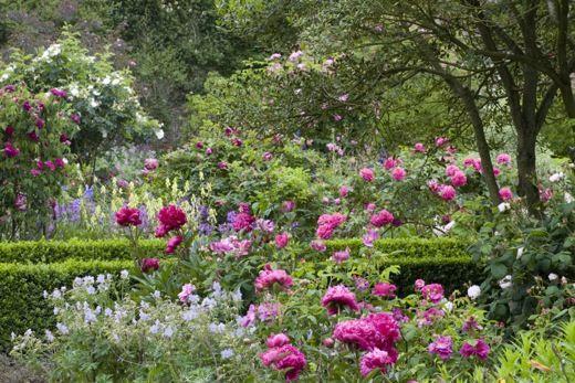 Paeonia 'Felix Crousse' in the Rose Garden in June at Sissinghurst Castle Garden, near Cranbrook, Kent