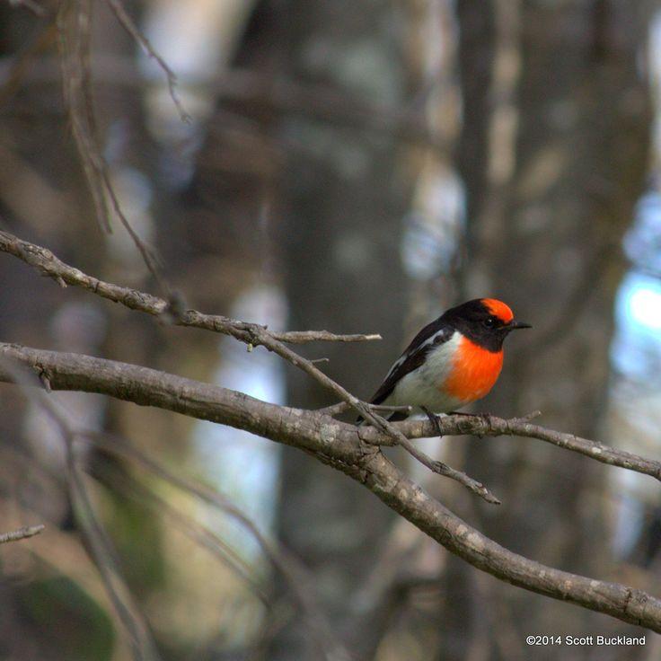 Red-capped Robin (male) - York, Western Australia - ©2014 Scott Buckland