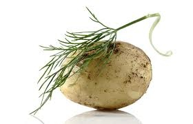 Tastes of Finland. New potatoes and dill.