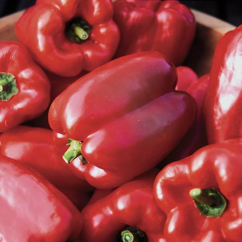 King of the North Pepper - Seed Savers Exchange