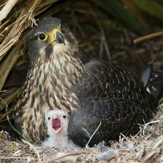 Peregrine Falcon with Baby .. FB Save Birds and Animals ...