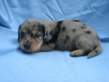 Long-Haired Miniature Dachshund Puppies For Sale - Splendor Farms Kennel - Bush, Louisiana