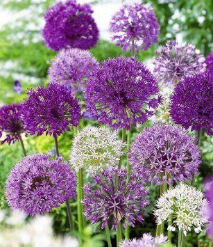 Zierlauch Allium-Mix 'Big Head', 12 Zwiebeln: Amazon.de: Garten
