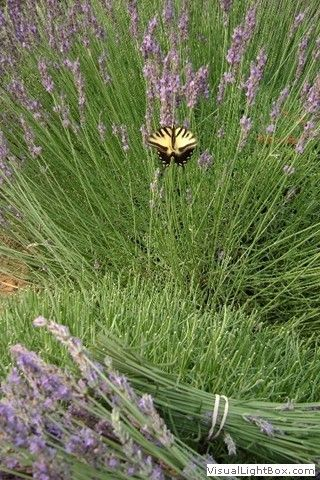 Butterfly  On The Lavender Harvest           The Lavender Garden            Salisbury, NC  28147