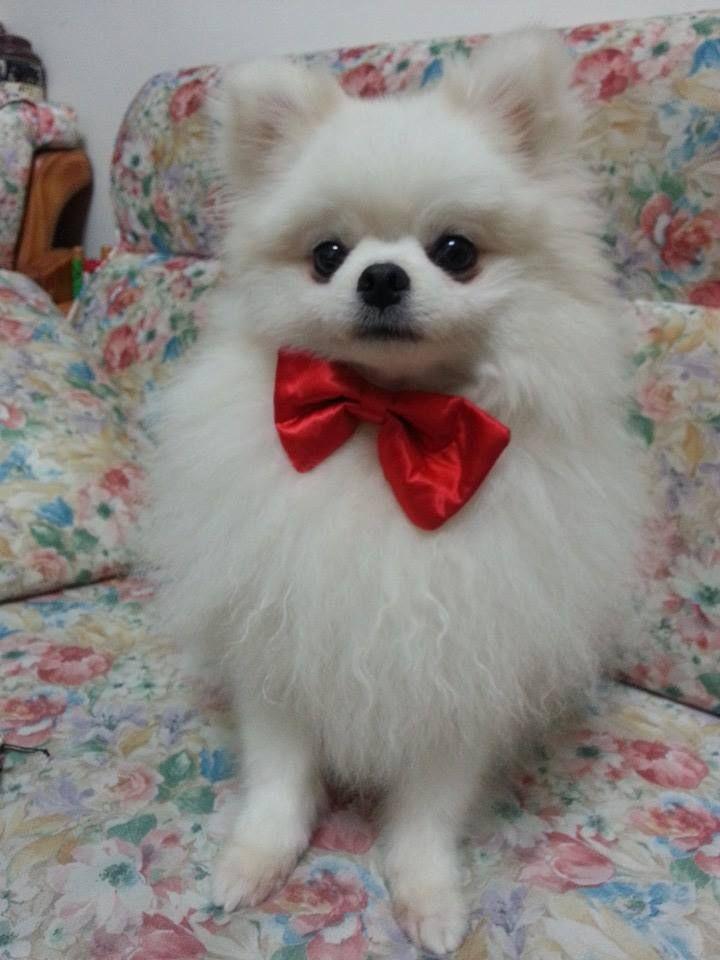 pomeranian red bow | pomeranian puppy(UMI) | Pinterest ...