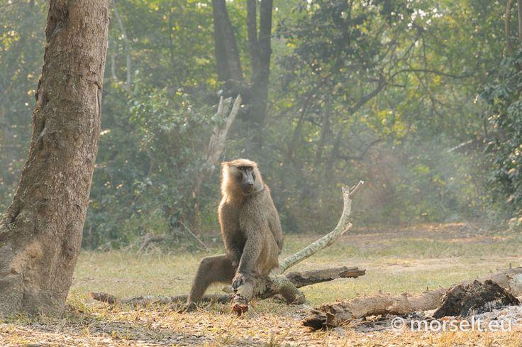 Baboon, Queen Elizabeth National Park, Uganda 2011. Frank Morselt.