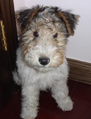wire fox terrier puppy.