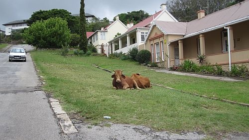 Cows enjoying ther sunshine in Grahamstown, South Africa