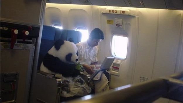 I'd like to be one of these airplane passengers. Either one is fine. #Pamda AirAirplanes, Bears, Giants Pandas, Seats Belts, Odd Stuff, The Zoos, Pandas Express, Animal, China