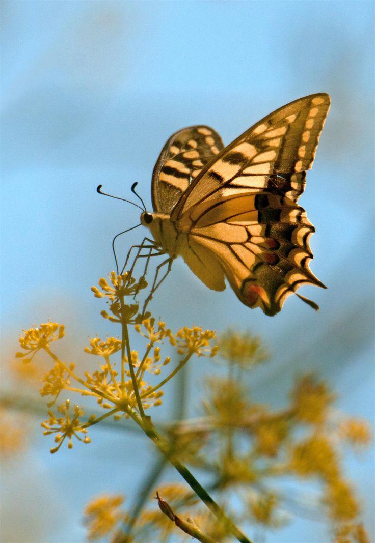 #guidofrilli - Macaone sardo - 18/08/2015 - Nikon D300 + Tamron 160/300 mm - f5.3 a 600 mm (900mm nel 35mm) ISO-200 - 1/5000sec. a f5.3 - 600mm - Papilio machaon Linnaeus, 1758