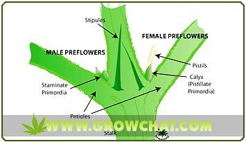 Important Methods in Sexing Marijuana Plants http://www.growchat.com/important-methods-in-sexing-marijuana-plants