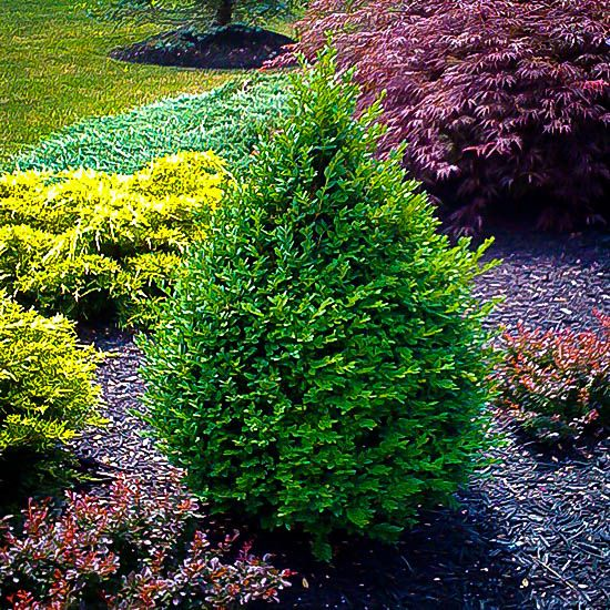 Buy Green Mountain Boxwood Online. Arrive Alive Guarantee. Free Shipping On All Orders Over $99. Immediate Delivery.