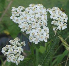 medicinale geneeskrachtige kruiden muggen zonnebrand bloemen verplegende kruiden verzorging lavendel etherische olie