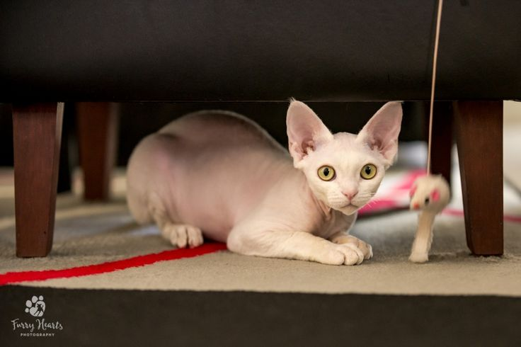 White Devon Rex crouching under a sofa