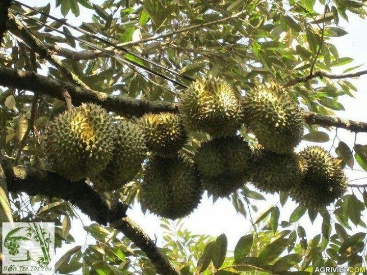 Ben Tre Vietnam  City new picture : Durian | Ben Tre Province, Vietnam | Pinterest