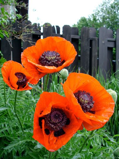 """ORNAMENTAL POPPIES: """"The insides are chock full of poppy seeds (just like the ones on your bagel). Let it dry out and shake it around wherever you want to plant. I did this freely for years as a kid, much to my mother's appreciation, and we always had the most beautiful mix of shasta daisies and orange poppies in June."""""""