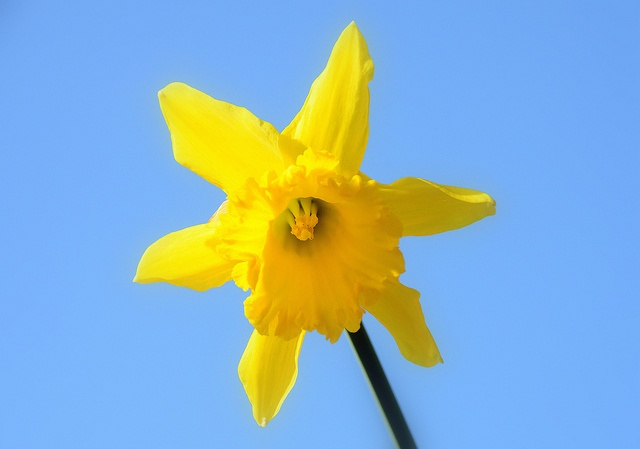 Daffodil and blue sky: Photo
