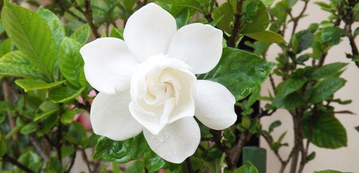 Foarte apreciată de către iubitorii de plante pentru frumusețea ei, Gardenia este o plantă delicată, care necesită multă atenție și o îngrijire constantă.