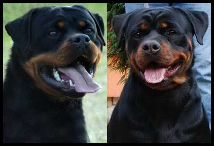 Iron Gizma V Rottweiler Puppies For Sale