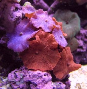 Underwater Garden - growing corals in a saltwater reef tank.