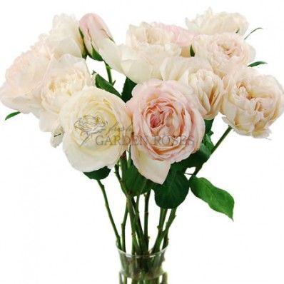 Garden Rose Jahr Blush Garden Roses From