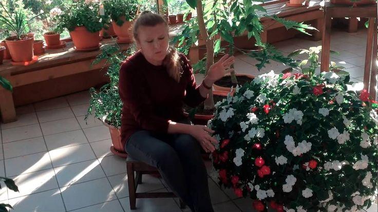 Ампельные импатиенсы (бальзамины) осенью