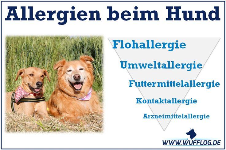 Der Hund schubbert, scheuert und kratzt sich, die Haut ist wund und entzündet, die Augen tränen. Herrchen und Frauchen leiden mit ihrem Vierbeiner mit und sind gleichzeitig oft ratlos. Die beschriebenen Symptome werden oftmals mit einem Flohbefall in Verbindung gebracht, weisen aber häufig auf eine Allergie hin.