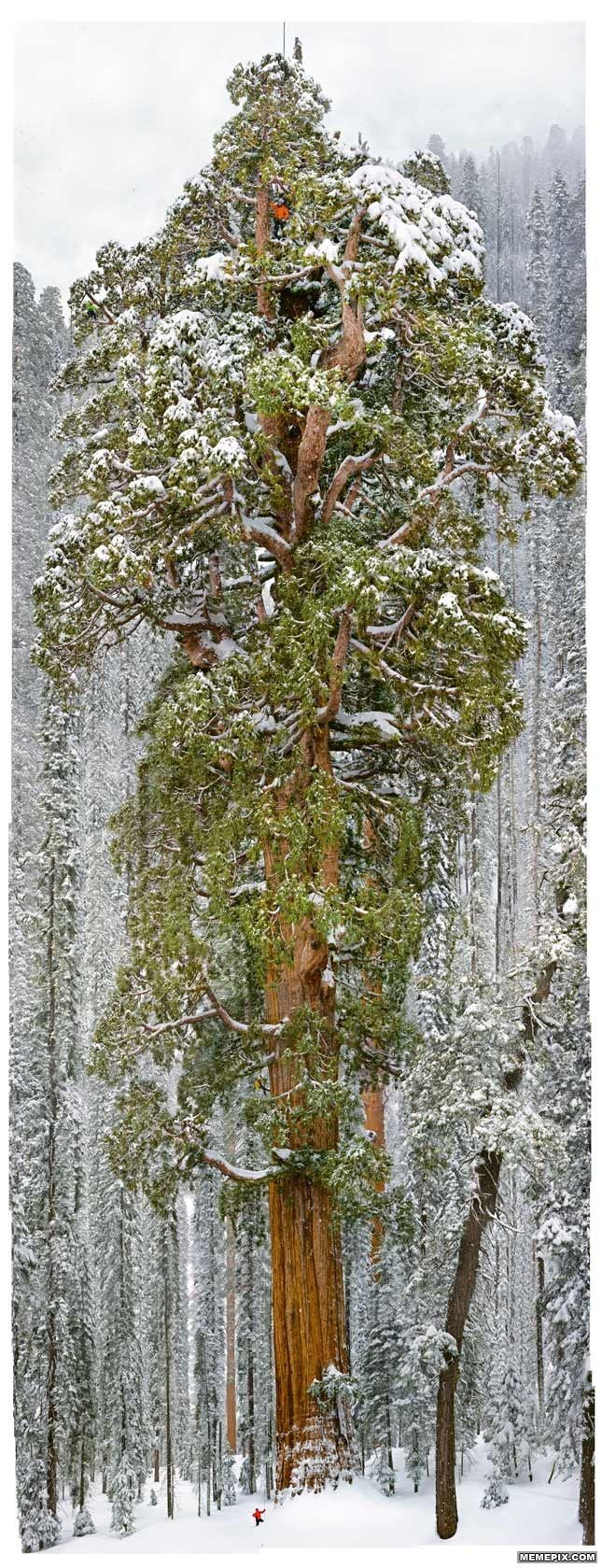The 'President', the second largest tree on earth.