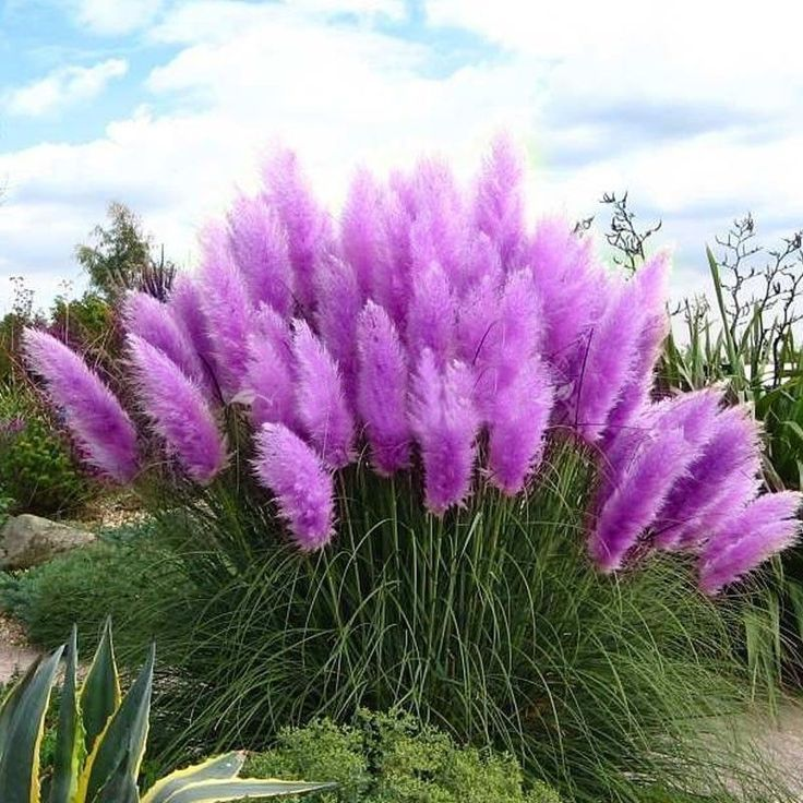 200pcs Pampas Grass Seed Potted Ornamental Plants Purple Pampas Grass Garden Bonsai Zierpflanzen Gartenpflanzen Gras