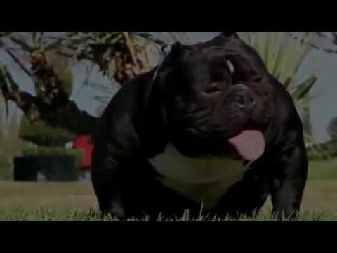 BIG TIMER (Carlito x Medussa) Exotic & Extreme American Bully