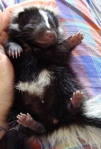 Did you know you can train a baby skunk to use a litterbox? you can have their scentgland removed and then they are basically a housecat.