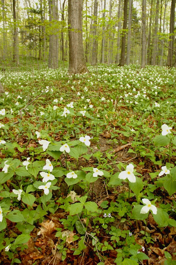 Trilliums flowering near Traverse City - the superstars of our Northern Michigan spring