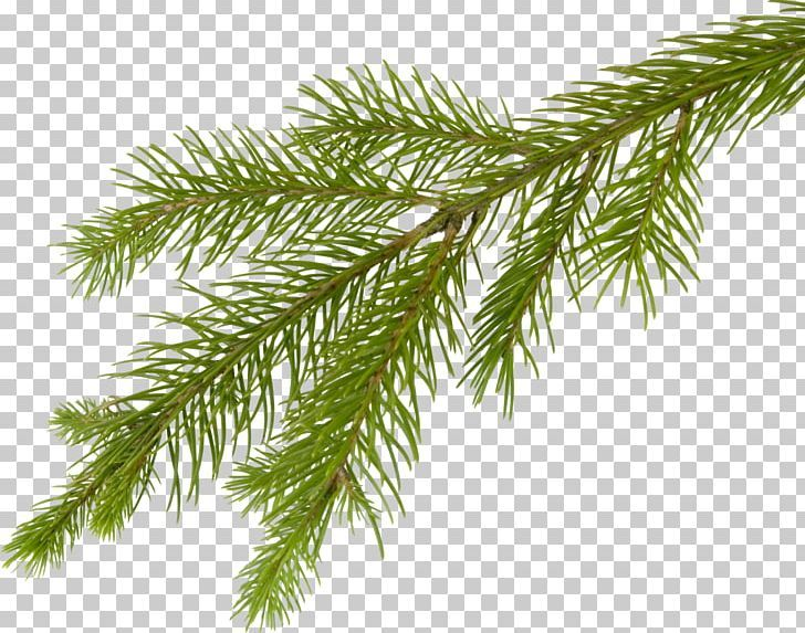 Fir Tree Branch Png Arecales Branch Christmas Christmas Tree Clip Art Tree Branches Fir Tree Branch