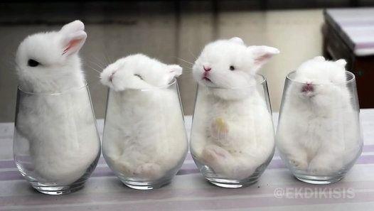 vidéo mignon lapin bebe lapereau verre4 bébés lapins sont confortablement installés dans des verres.