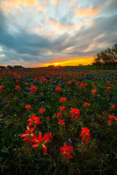 Sunrise Starburst Over Texas Wildflowers - Ennis County, Texas